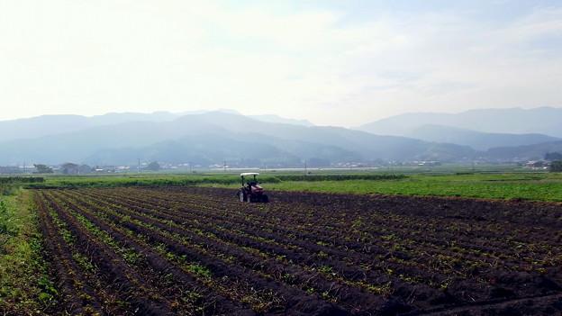 収穫を待つ甘藷畑