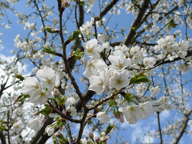 駕与丁公園の桜(2)