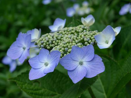天拝山歴史自然公園の紫陽花(2)