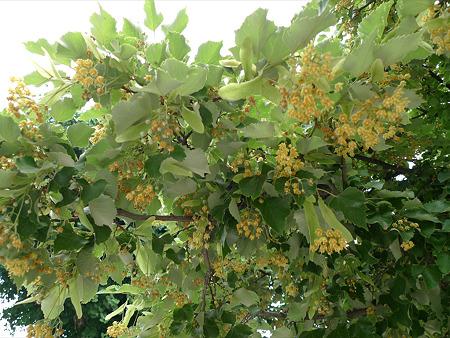 恵光院の菩提樹(3)