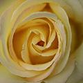 大輪のバラ?