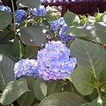 写真: 紫陽花 3