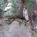 Photos: 洞杉3