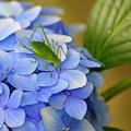 紫陽花に 羽根を休めて 聞かせます