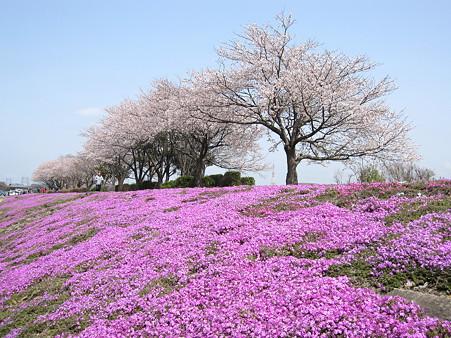 相模川の芝桜(1)