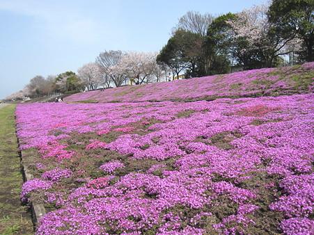 相模川の芝桜(2)