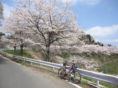 城山湖の桜(4)
