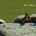 Photos: 亀だ!3兄弟・・・