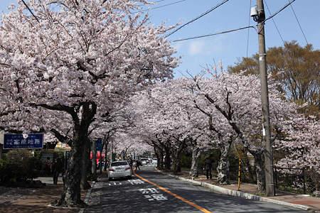 20110410伊豆高原桜並木01