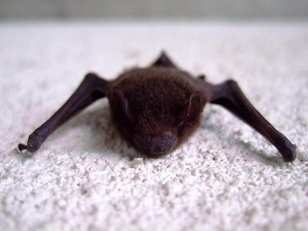 アブラコウモリの画像 p1_27