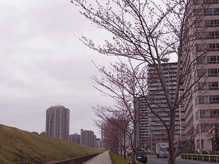 南千住 汐入公園の桜 2010-3-28 04