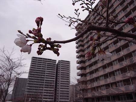 南千住 汐入公園の桜 2010-3-28 06