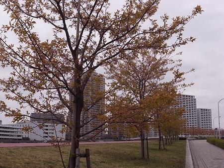 南千住 汐入公園の桜 2010-3-28 12