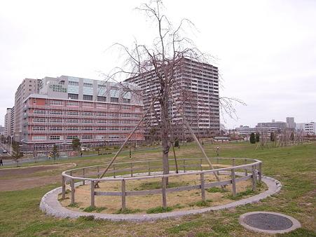 南千住 汐入公園の桜 2010-3-28 34