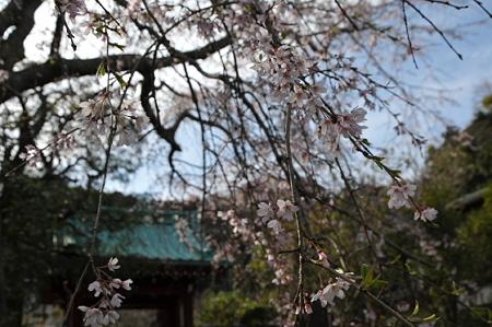 光則寺のしだれ桜 02