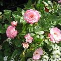 写真: 薔薇が咲いた