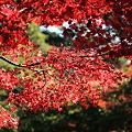 Photos: 宮島にて紅葉の写真です。