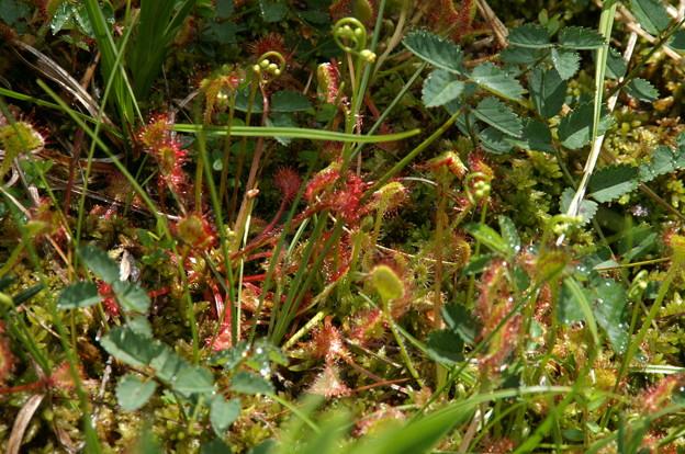Photos: 花芽も見えてきたモウセンゴケ