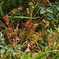 花芽も見えてきたモウセンゴケ