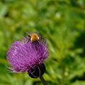 Photos: ノハラアザミと蜂