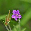 ゲンノショウコ花とタネ
